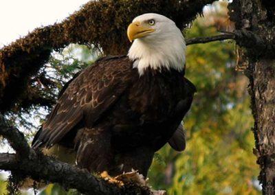 Alaska Sightseeing in Thorne Bay Alaska. Bald eagle